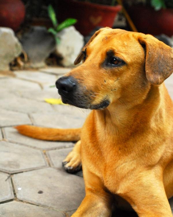 Cambodia Dog